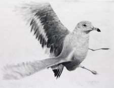 """Startled Gull"", 2011, Graphite on Paper (Strathmore 500), 23 x 29 in., by David Jay Spyker"